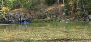 sockeye salmon seen while canoeing